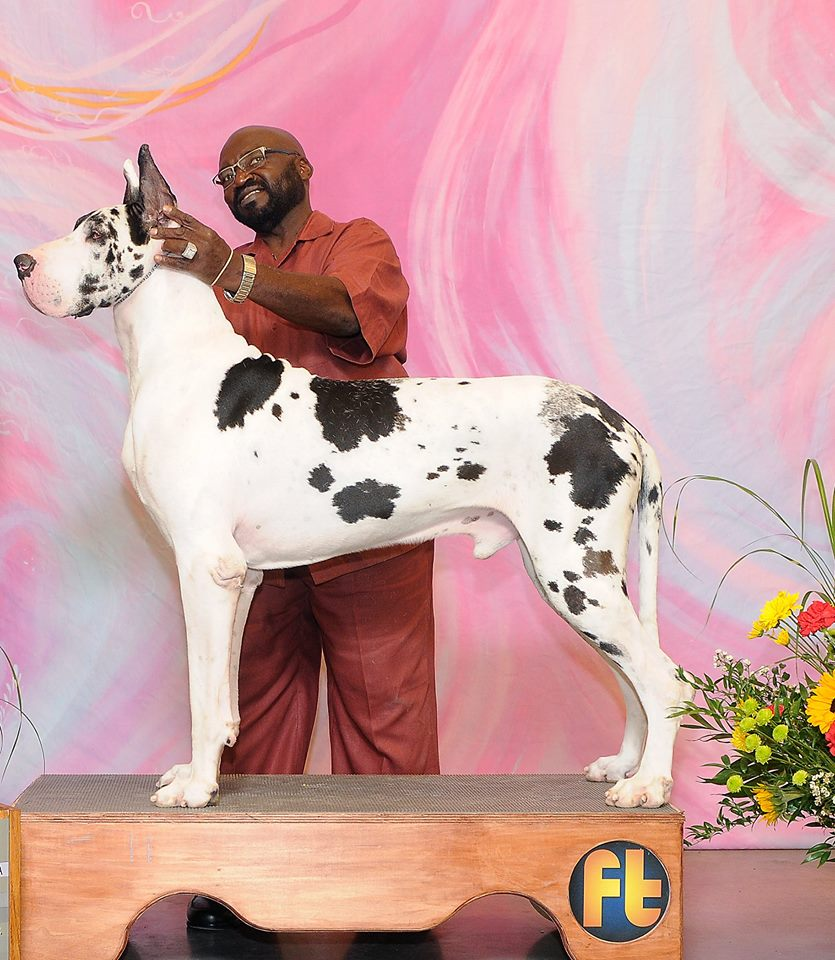 levi - champion Harlequin great dane stud