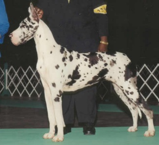 harlequin great dane female