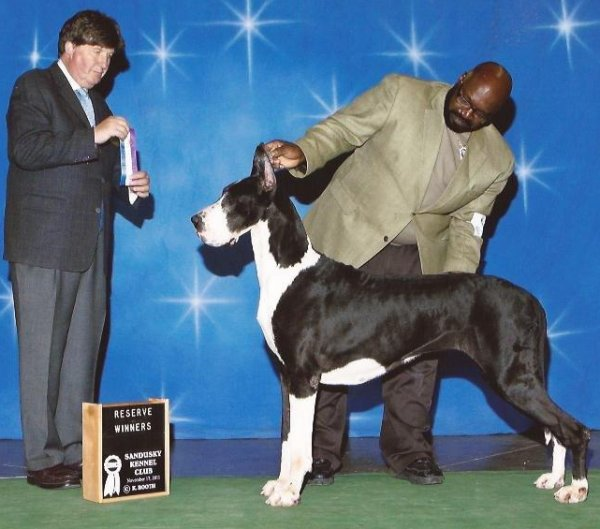 mantle great dane bitch