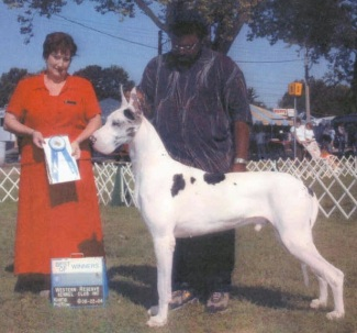 harlequin great dane stud
