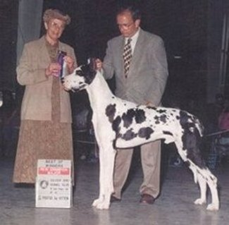 Joker harlequin great dane champion