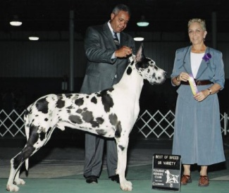 harlequin great dane champion dargo