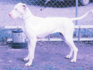 great dane female