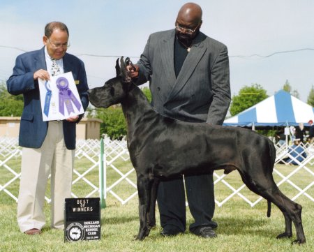 black great dane stud
