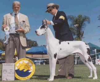 gabby great dane champ