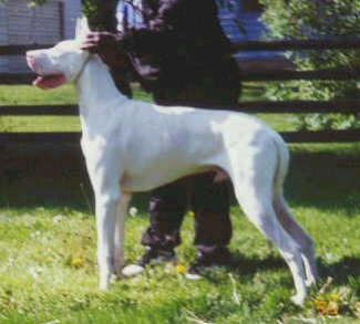 radar great dane stud