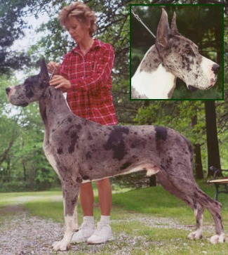 veto merle great dane