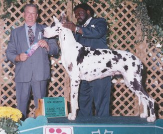 harlequin great dane champion