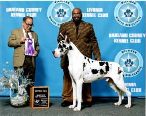 regall champion stud harlequin great dane