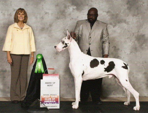 cash harlequin great dane