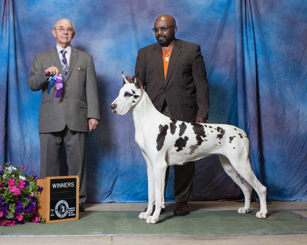 mdjbdane-flirt-harlequin-great-dane-600