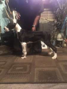 Mantle female Great Dane Puppy