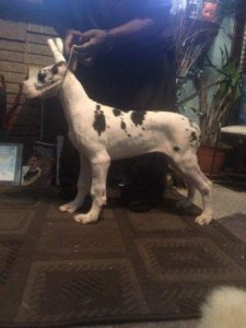 female Harlequin great dane puppy available